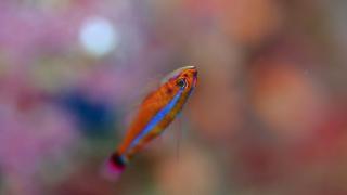 石垣島ダイビングツアー いつも上を向いて泳いでいるアオギハゼ